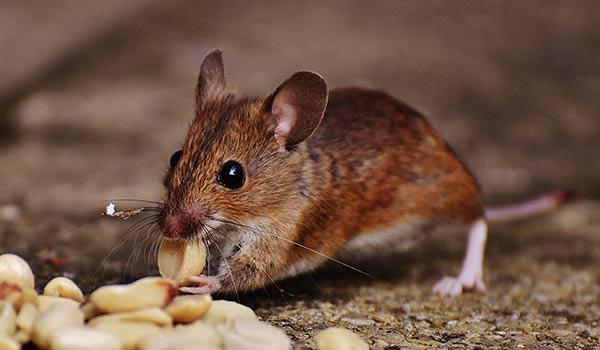 Plaga de ratas en Pamplona